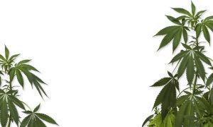 Можно ли заработать на марихуане?