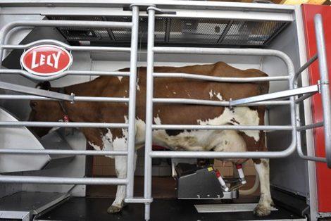 робот для доения коровы