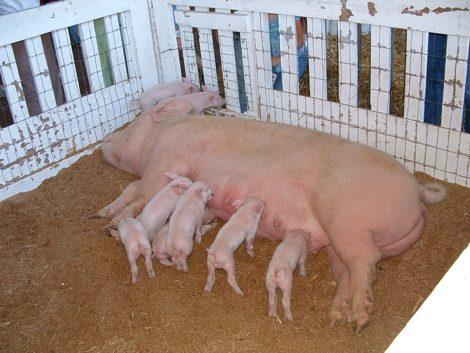бизнес на селе - свиноводство
